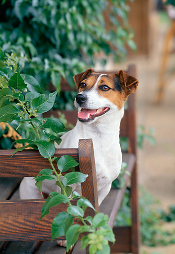 DOG 02 CB0058 01 © Kimball Stock Jack Russell Terrier Sitting On Wooden Deck By Vines