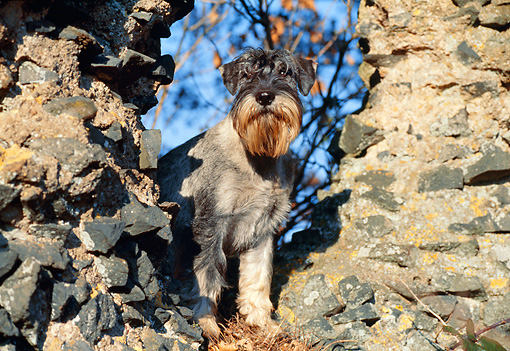 DOG 02 CB0059 01 © Kimball Stock Standard Schnauzer Standing By Old Brick Walls