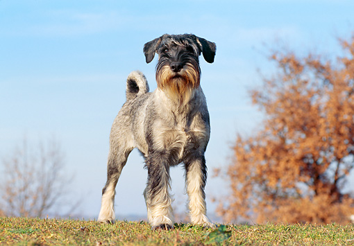 DOG 02 CB0060 01 © Kimball Stock Standard Schnauzer Standing On Grass In Late Autumn
