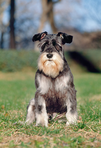 DOG 02 CB0061 01 © Kimball Stock Portrait Of Miniature Schnauzer Sitting On Grass