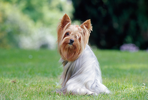 DOG 02 CB0063 01 © Kimball Stock Portrait Of Yorkshire Terrier Sitting On Lawn Looking Back
