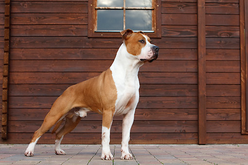 DOG 02 CB0065 01 © Kimball Stock American Staffordshire Terrier Standing By Wood Cabin