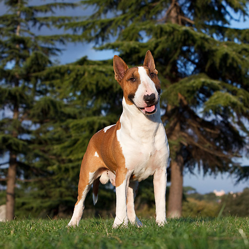 DOG 02 CB0071 01 © Kimball Stock Bull Terrier Standing On Grass By Pine Trees