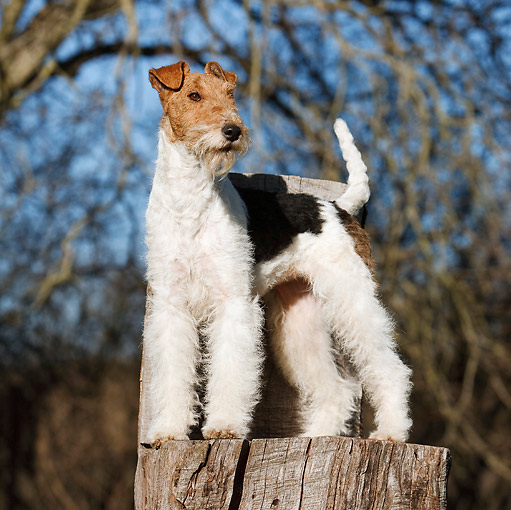 DOG 02 CB0073 01 © Kimball Stock Fox Terrier Standing On Stump