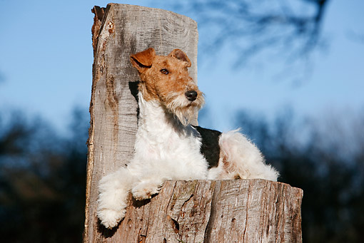DOG 02 CB0074 01 © Kimball Stock Fox Terrier Laying On Stump