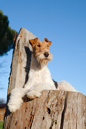 DOG 02 CB0075 01 © Kimball Stock Fox Terrier Laying On Stump