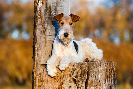 DOG 02 CB0076 01 © Kimball Stock Fox Terrier Laying On Stump