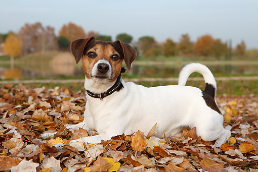 DOG 02 CB0082 01 © Kimball Stock Jack Russell Terrier Laying In Autumn Leaves