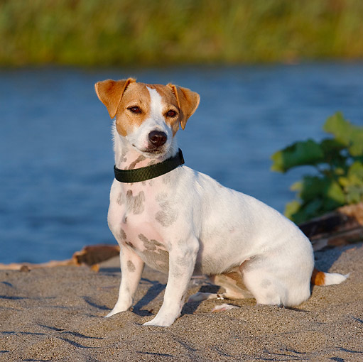 DOG 02 CB0083 01 © Kimball Stock Jack Russell Terrier Sitting On Sand By Water