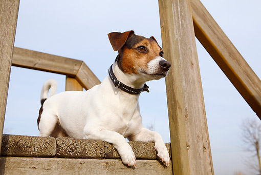 DOG 02 CB0084 01 © Kimball Stock Jack Russell Terrier Laying On Wooden Deck