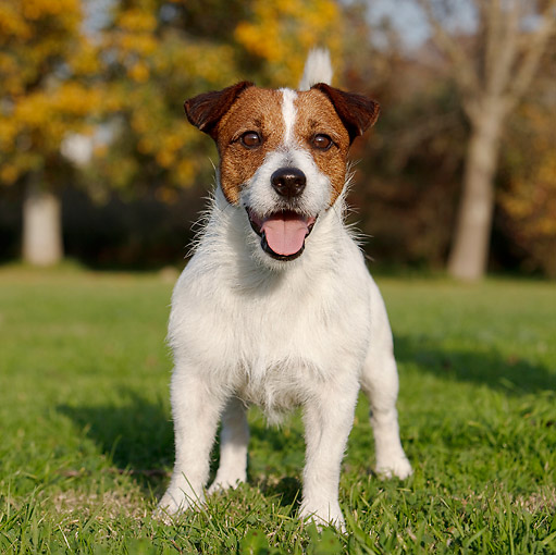 DOG 02 CB0086 01 © Kimball Stock Portrait Of Jack Russell Terrier Standing On Grass