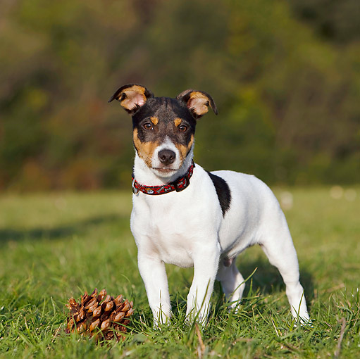 DOG 02 CB0088 01 © Kimball Stock Jack Russell Terrier Standing On Grass By Pine Cone