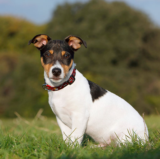 DOG 02 CB0089 01 © Kimball Stock Jack Russell Terrier Sitting On Grass