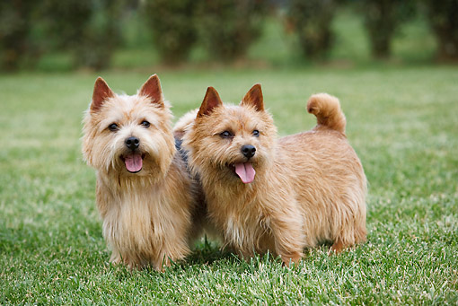 DOG 02 CB0091 01 © Kimball Stock Two Norwich Terriers Standing On Grass