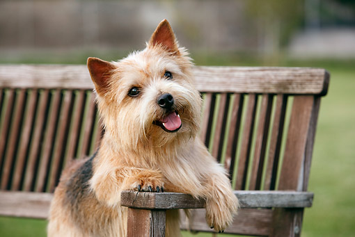 DOG 02 CB0092 01 © Kimball Stock Close-Up Of Norwich Terrier Sitting On Bench