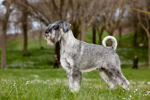 DOG 02 CB0093 01 © Kimball Stock Standard Schnauzer With Natural Ears And Tail Standing On Grass
