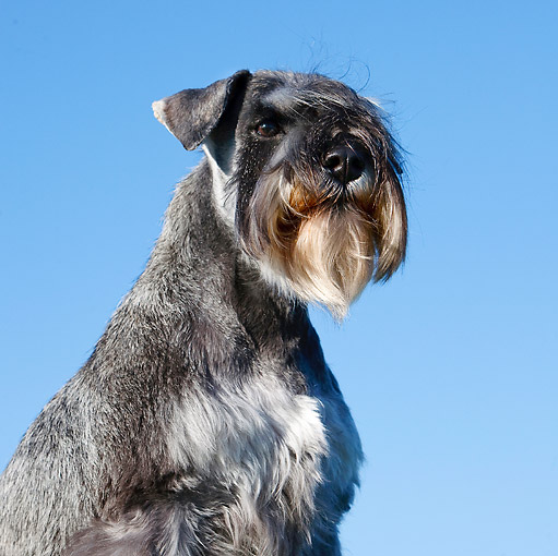 DOG 02 CB0094 01 © Kimball Stock Close-Up Of Miniature Schnauzer With Natural Ears Against Blue Sky