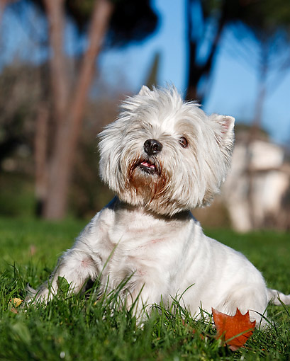 DOG 02 CB0097 01 © Kimball Stock West Highland Terrier Sitting On Grass And Autumn Leaves
