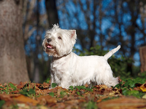 DOG 02 CB0098 01 © Kimball Stock West Highland Terrier Standing On Grass And Autumn Leaves