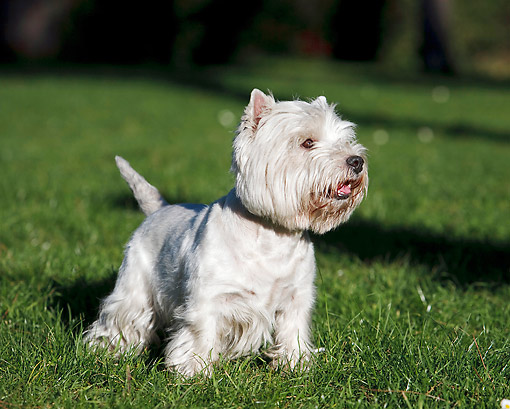 DOG 02 CB0107 01 © Kimball Stock West Highland Terrier Standing On Grass
