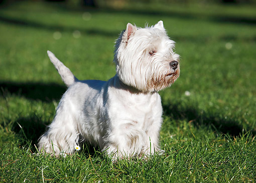DOG 02 CB0108 01 © Kimball Stock West Highland Terrier Standing On Grass