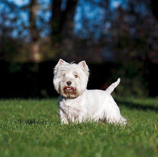 DOG 02 CB0109 01 © Kimball Stock West Highland Terrier Standing On Grass