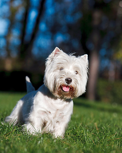 DOG 02 CB0112 01 © Kimball Stock Portrait Of West Highland Terrier Standing On Grass