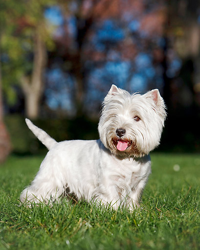 DOG 02 CB0114 01 © Kimball Stock Portrait Of West Highland Terrier Standing On Grass