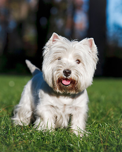 DOG 02 CB0115 01 © Kimball Stock Portrait Of West Highland Terrier Standing On Grass