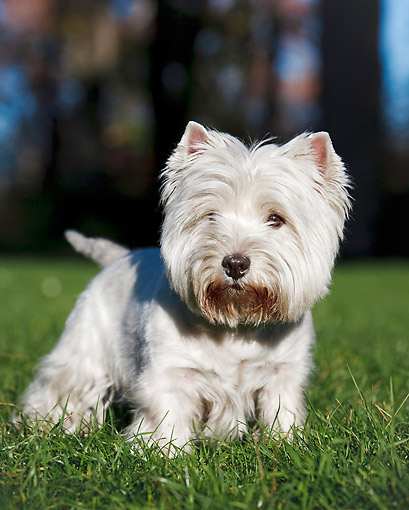 DOG 02 CB0116 01 © Kimball Stock Portrait Of West Highland Terrier Standing On Grass