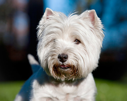 DOG 02 CB0117 01 © Kimball Stock Head Shot Of West Highland Terrier