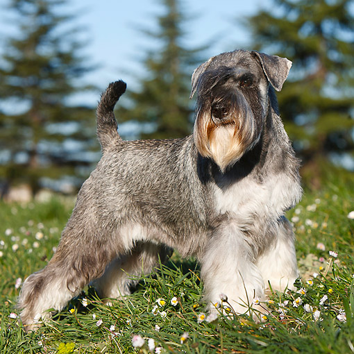 DOG 02 CB0135 01 © Kimball Stock Schnauzer Standing In Grass By Trees