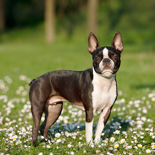 DOG 02 CB0136 01 © Kimball Stock Boston Terrier Standing In Grass And Flowers