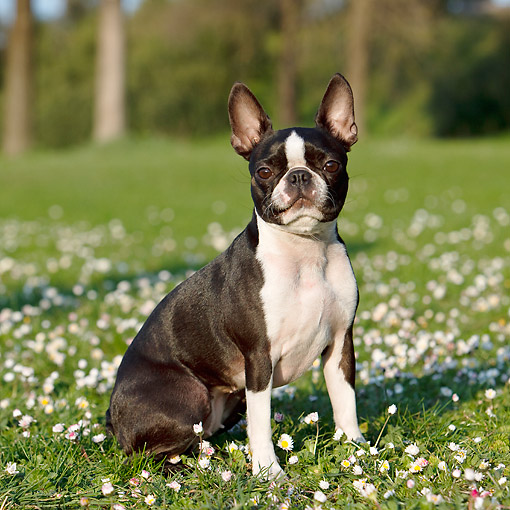 DOG 02 CB0137 01 © Kimball Stock Boston Terrier Sitting In Grass And Flowers