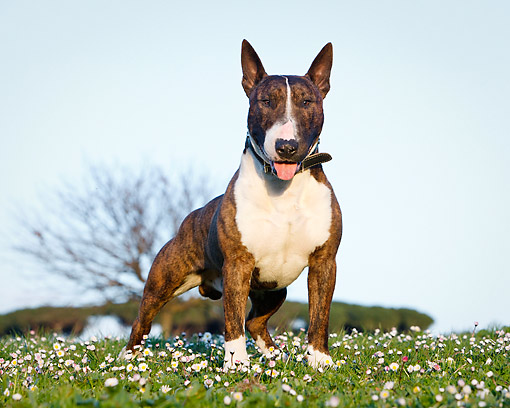 DOG 02 CB0140 01 © Kimball Stock Bull Terrier Standing In Grass With Flowers
