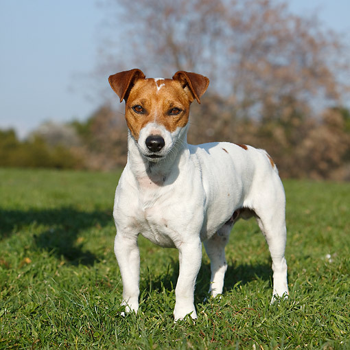 DOG 02 CB0141 01 © Kimball Stock Jack Russell Terrier Standing In Grass