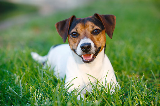 DOG 02 CB0144 01 © Kimball Stock Jack Russell Terrier Laying In Grass