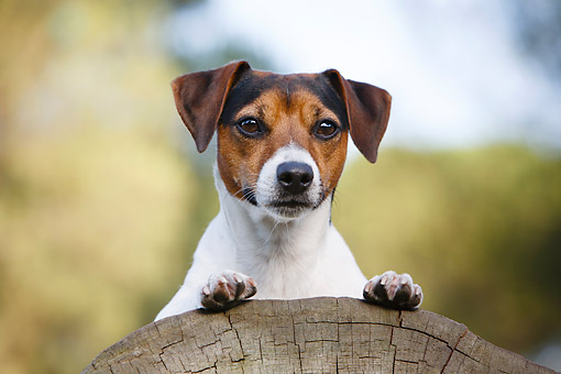 DOG 02 CB0145 01 © Kimball Stock Jack Russell Terrier Sitting On Log