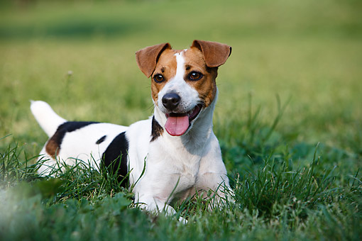 DOG 02 CB0146 01 © Kimball Stock Jack Russell Terrier Laying In Grass