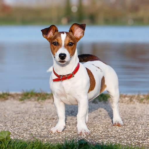 DOG 02 CB0148 01 © Kimball Stock Jack Russell Terrier Standing By Water