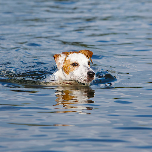 DOG 02 CB0149 01 © Kimball Stock Jack Russell Terrier Swimming In Water