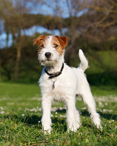 DOG 02 CB0151 01 © Kimball Stock Wirehaired Jack Russell Terrier Standing In Grass