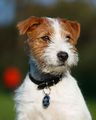 DOG 02 CB0152 01 © Kimball Stock Wirehaired Jack Russell Terrier Portrait
