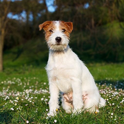 DOG 02 CB0153 01 © Kimball Stock Wirehaired Jack Russell Terrier Sitting In Grass