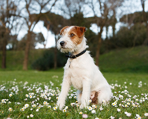 DOG 02 CB0154 01 © Kimball Stock Wirehaired Jack Russell Terrier Sitting In Grass