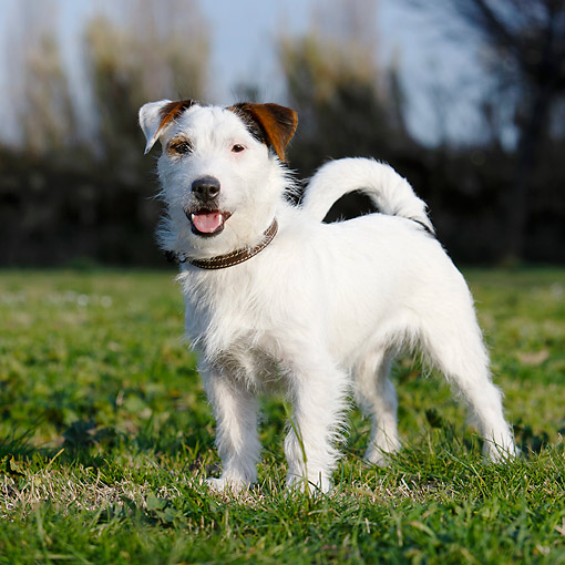DOG 02 CB0155 01 © Kimball Stock Wirehaired Jack Russell Terrier Standing In Grass