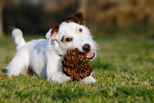 DOG 02 CB0156 01 © Kimball Stock Wirehaired Jack Russell Terrier Playing With Pinecone In Grass