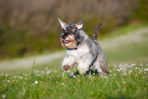 DOG 02 CB0159 01 © Kimball Stock Mini Schnauzer Running Over Grass