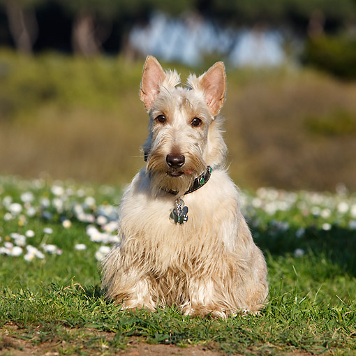 DOG 02 CB0162 01 © Kimball Stock Scottish Terrier Sitting In Grass