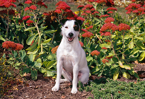 DOG 02 CE0147 01 © Kimball Stock Jack Russell Terrier Sitting In Garden